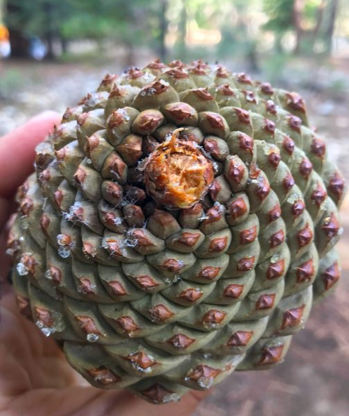 Heavy pinecones