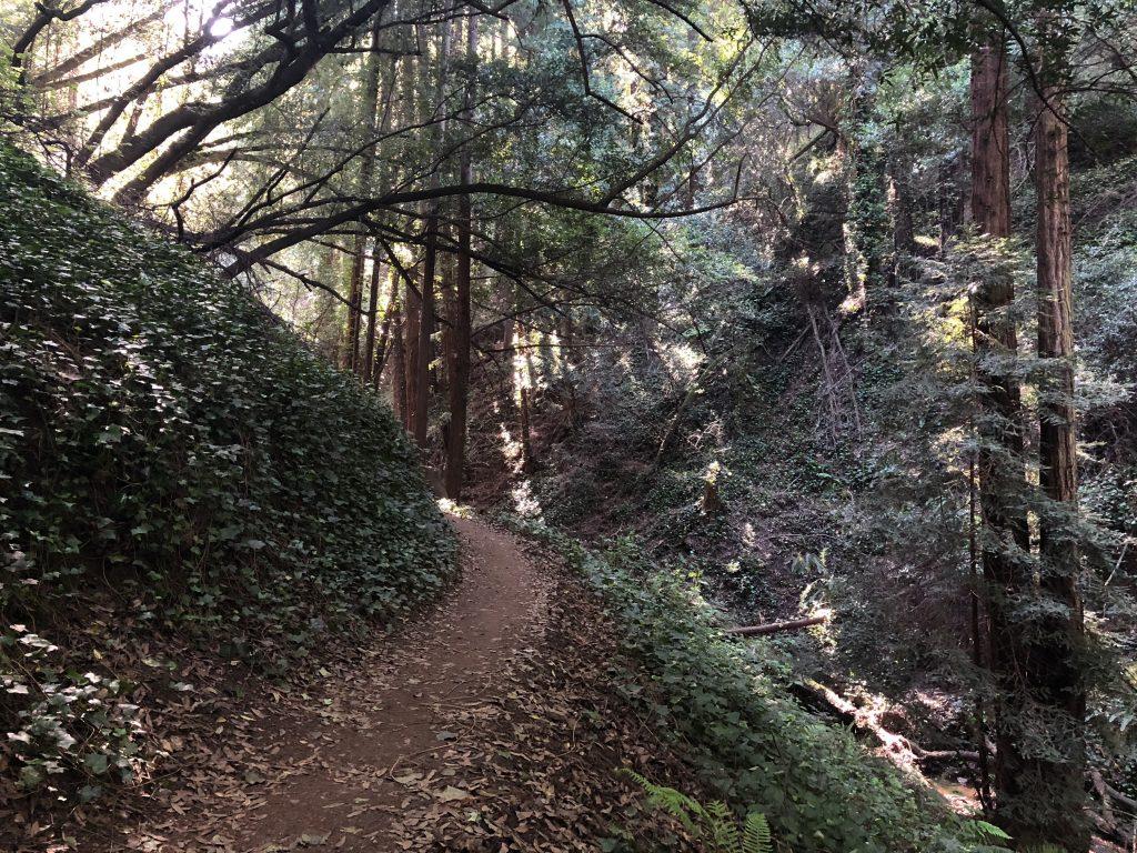 Morning light through redwoods in Joaquin Miller Park