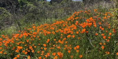 California Poppies in Tilden Park